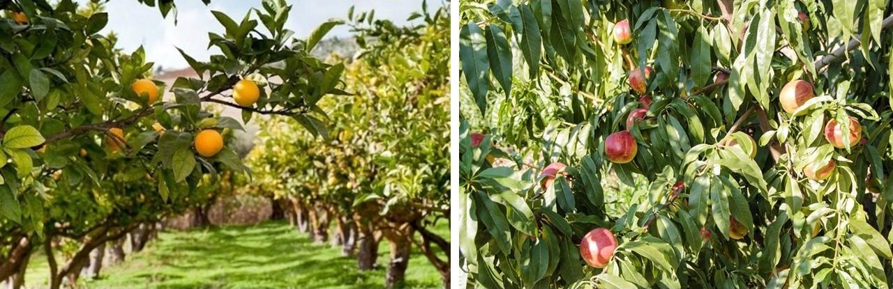 Frutta- Arance e Pesche